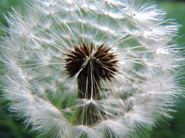 The WHY at our core - Dandelion Core White Wind Seeds  - lueleng / Pixabay