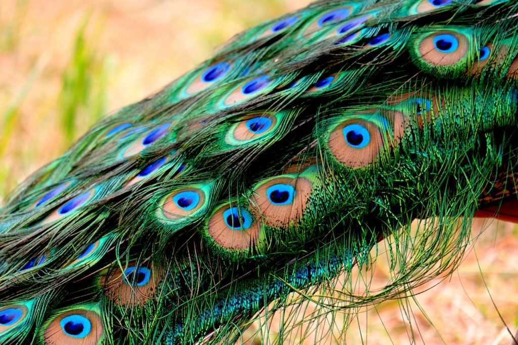 My core weakness: a polished persona.  Plumage Peacock Feather Pride Bird  - music4life / Pixabay